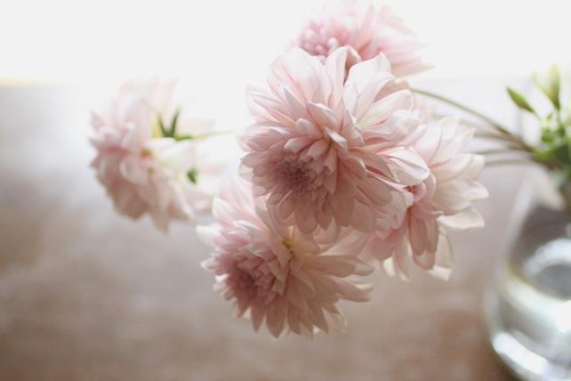 ダリア・桜貝